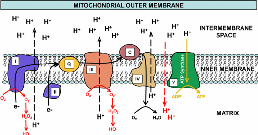 Electron-movement-is-shown-through-the-mitochondrial-electron-transport-chain-ETC-and